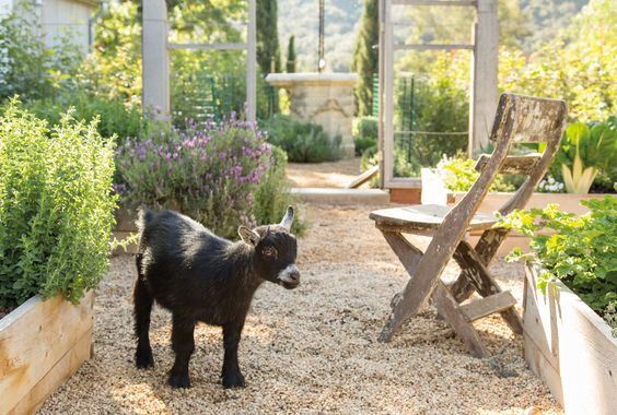 Pygmy goats in garden with box planters.