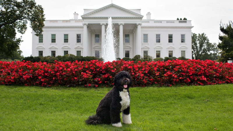 Bo, the Obama family dog poses for a photo September 28, 2012 on the North Lawn of the White House.