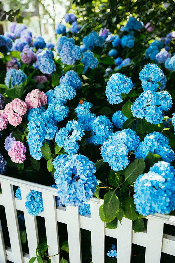 Cafe Design   Favorite Pins   Picket fence and hydrangeas